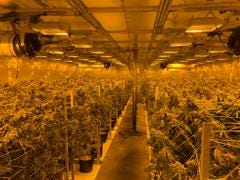 An illegal marijuana grow in Bakersfield is shown after the Kern County Sheriff's Office arrested five men on drug charges.
