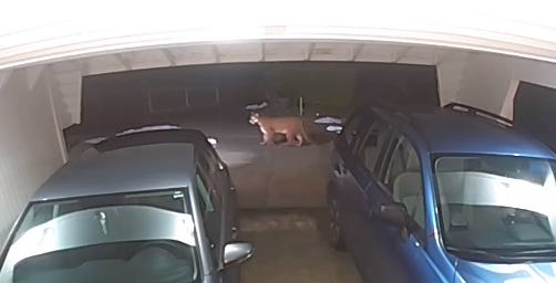 Cougar in driveway