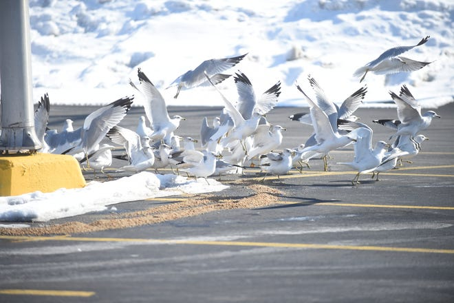 Social media blew up on Tuesday, Feb.  16, when motorists ran over four ring-billed gulls in the Hobby Lobby parking lot. Law enforcement officers issued two citations in connection with the incident.