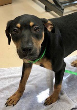 Otto, an 8-month-old male black and tan coonhound, is available for adoption at the St. Johns County Pet Center, 130 N. Stratton Road. Call 904-209-6190. Dog adoptions fees, $45 for males and $60 for females, include neutering/spaying, rabies vaccinations and shots.