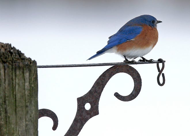 A bluebird sits atop a post on Township Road 1153 on Monday, Feb. 22, 2021. The bird was enjoying some warmer weather, as the temperatures were above freezing after several weeks below 32 degrees. Temperatures are expected to be in the 40s the rest of the week and might even hit the 50s by the weekend.
