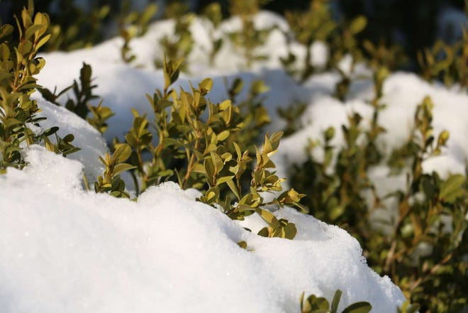 Snow covers plants during the most recent winter weather.
