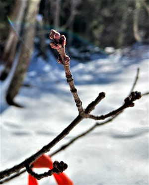 Red maple buds as they appear this week in Maine, dormant and waiting for warmer weather and longer days to begin to open.
