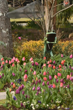 Tulips, camellias and other flowers are blooming throughout Airlie Gardens.