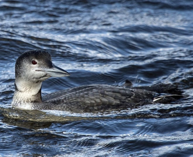 Winter plumaged, Common Loons are dark gray with a light gray bill, & dull reddish-brown eyes.