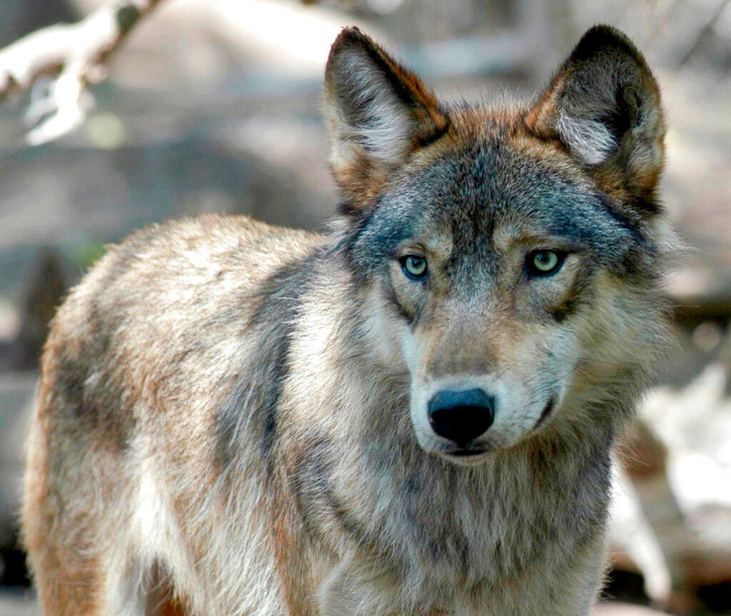 Wisconsin opens early wolf hunt after hunter group sued 2