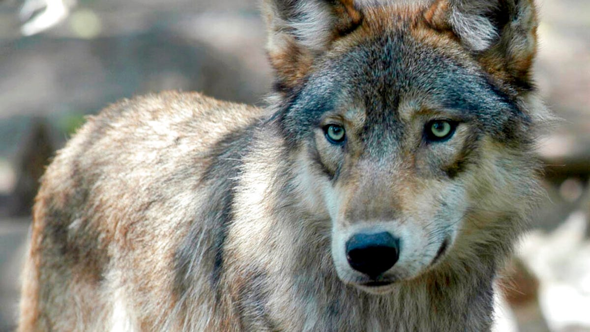 Wisconsin opens early wolf hunt after hunter group sued 3