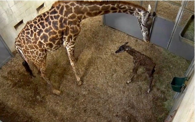 Autumn, a giraffe at the Greenville Zoo, is pictured here with her new calf that was born around 2:30 p.m. on Sunday. The calf does not yet have a name.