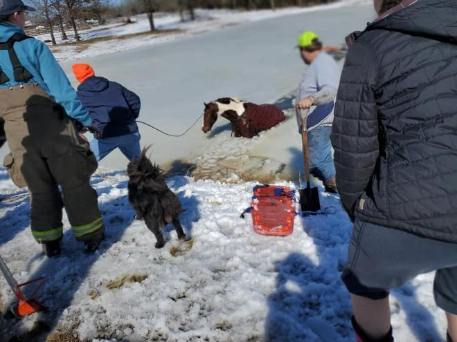 Chief makes his way out of the pond after getting help getting out of the hole in the ice on Sunday.