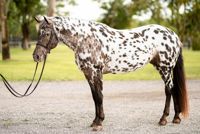 Dani is well known for her markings, which are very unique. She has become the model, due to her markings, for model horses being produced and sold worldwide.