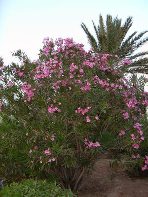 Oleander bush