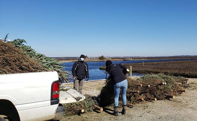 Volunteers at Hammocks Beach State Park in Swansboro recently helped place 115 donated Christmas trees along the beach on Bear Island. These trees are from those who dropped off their trees after the holidays and will help build the dunes that were lost from the storms of the last few years.