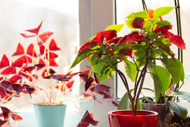 Plants in pots with red leaves.