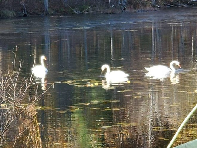Three mute swans swim in a pond near Gore Road not far from where a swan was hit and killed by a vehicle this weekend.