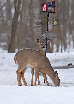 A pair of deer find a snack at the base of a bird feeder at a home on Nevada Road in Bucyrus, Ohio.
