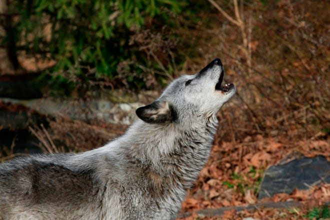A wolf howls at a Wolf Conservation Center on December 6, 2020 in South Salem, New York.
