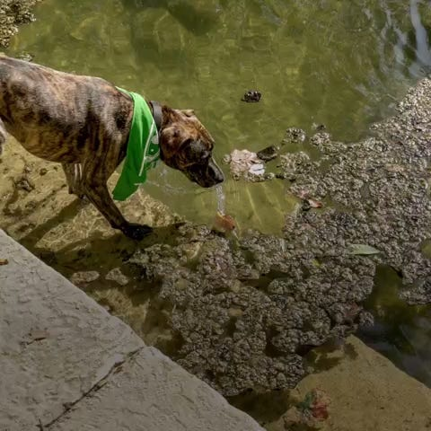 Blue-greenalgae can produce toxins that are deadly to dogs. Warm water, low flow through the Highland Lakes and high levels of nutrientsmake it more likely that the harmful algae will be present.