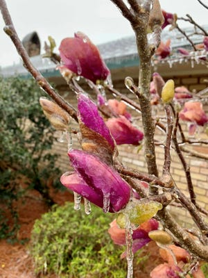Saucer magnolia buds frozen in ice. These trees are hardy and will be OK.