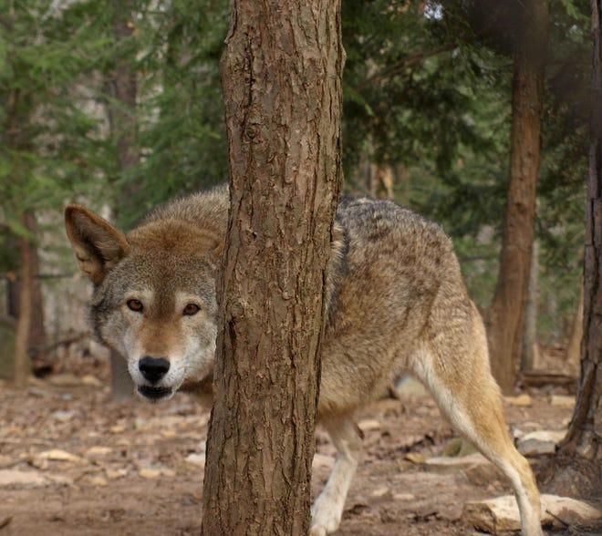 Red wolf at North carolina zoo