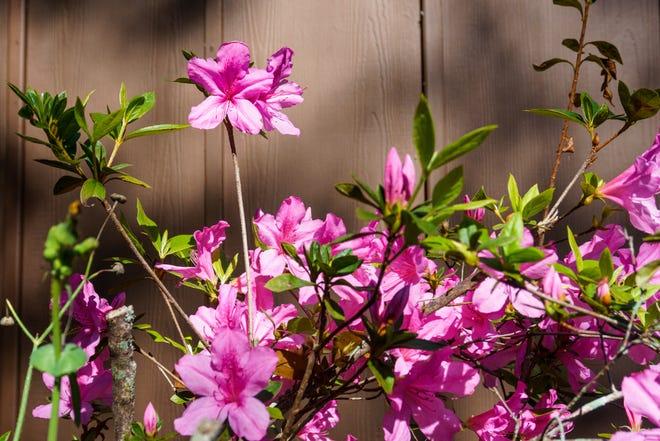 Azaleas make no demands and always brighten the Darwinian Gardener's February.