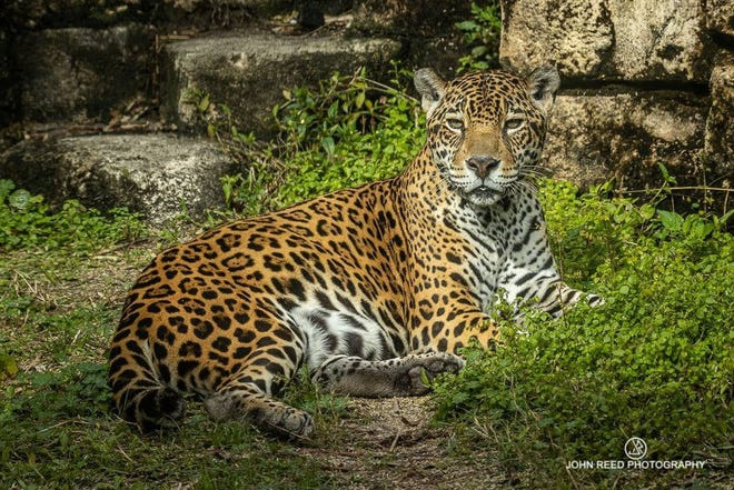 """Jacksonville Zoo officials say Zenta, a 21-year-old female jaguar, was killed in a fight with a younger male jaguar late Saturday as the result of a """"tragic accident"""" in a zoo holding complex."""