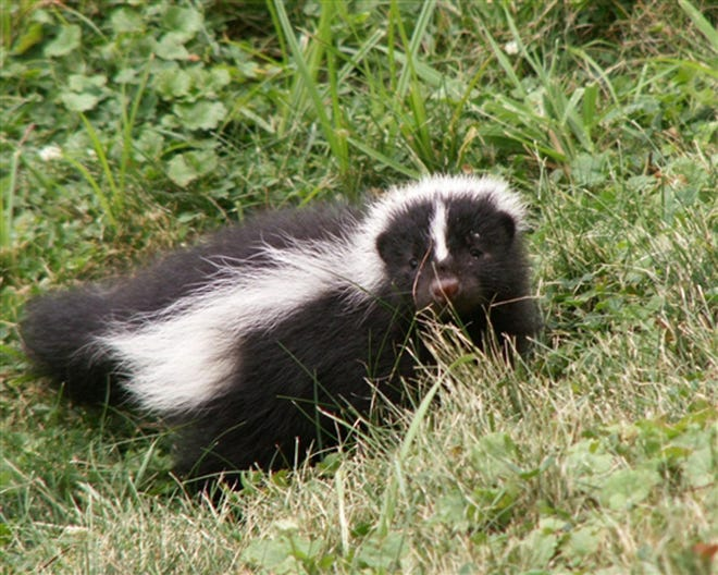 The striped skunk is found in every Ohio county.