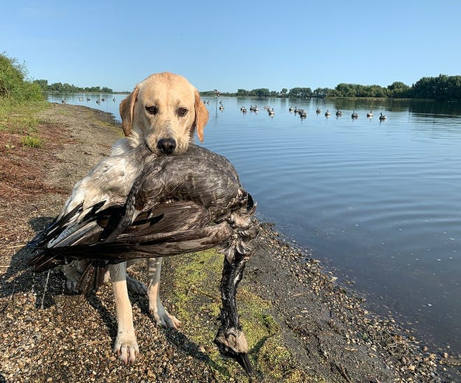 Fella, an 11-month-old Labrador retriever, with his first-ever goose, a bird he circled and barked at before retrieving in September.