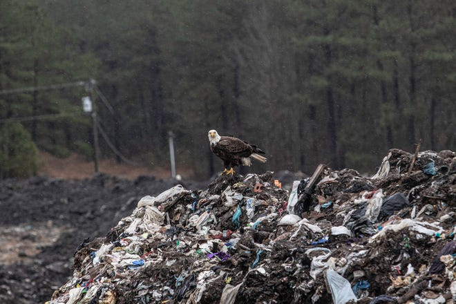A bald eagle, symbol of America, stands upon a pile of garbage, which is also being seen more and more as a symbol of the land's growing litter problem. While this garbage is at the Tuscarora Landfill where it belongs, too much trash is finding its home along Craven County highways instead. Leaders are working to change that.