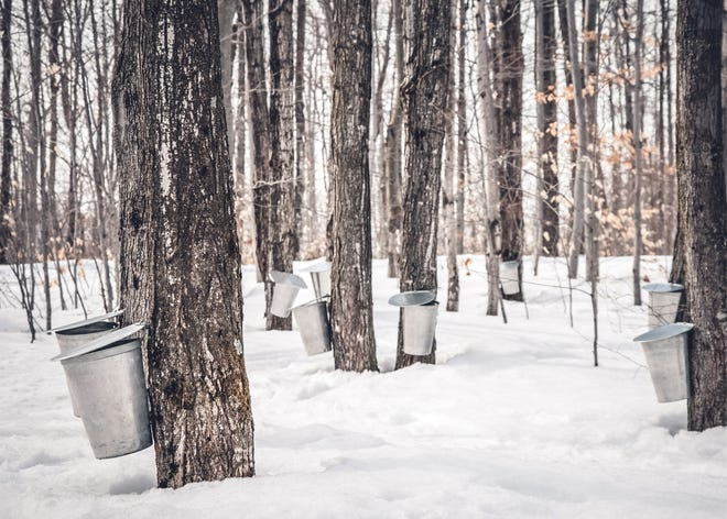 Not all sap harvested from maple trees is destined for syrup bottles.