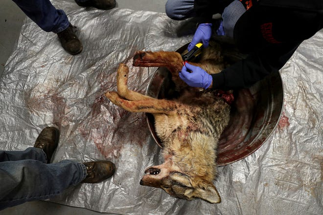 Organizers tag one of the coyotes brought into the firehouse during the 17th annual Sullivan County Coyote Hunt in Laporte, Pa., Sunday, Feb. 23, 2020. Although proponents say the coyote population needs to be controlled, many opponents of these killing contest-style hunts say they're barbaric and disrupt the natural balance, taking out a keystone predator that controls rodent and pest populations and keeps feral cats, raccoons, and skunks in check as well. (David Maialetti/The Philadelphia Inquirer via AP)