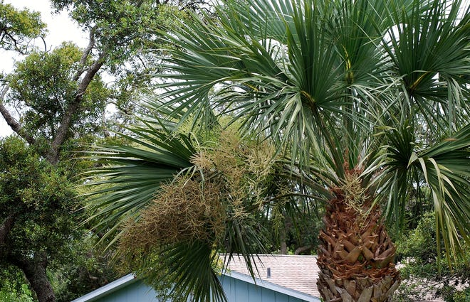 Sabal or Cabbage palm is the state tree of both Florida and South Carolina. Flowering occurs in spring and summer. The ripening fruit is a food source for many types of wildlife, including ring-billed gulls, fish crows, cardinals and blue jays. The flower stalks of cabbage palms may be removed at any time without hurting the tree to prevent messy flowers and fruit from dropping on patios, cars and sidewalks, but doing so can cause a food emergency for local wildlife.