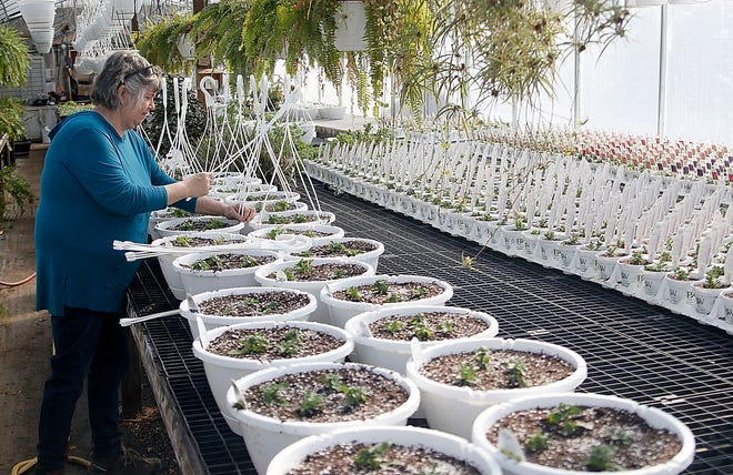 Valerie Smith attaches hangers to some hanging baskets in the greenhouse at Honey Haven Farm on Thursday, Feb. 25, 2021.