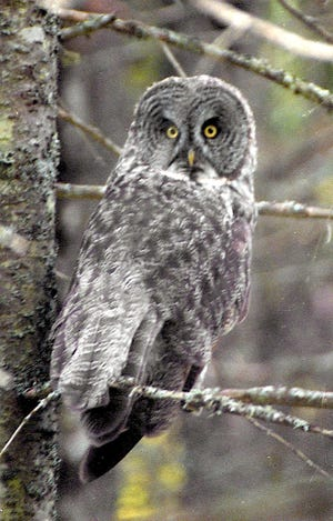 A great gray owl perches in a tree in the Superior National Forest near Grand Marais, Minnesota.