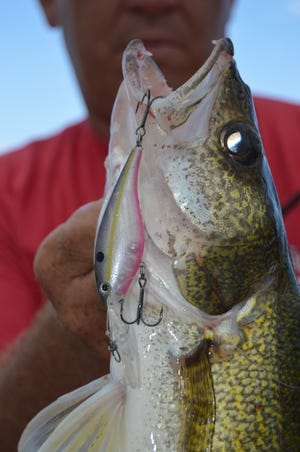 This walleye caught in clear water liked the subtle look of a Crystal Shad Pink Belly pattern Lucky Shad.