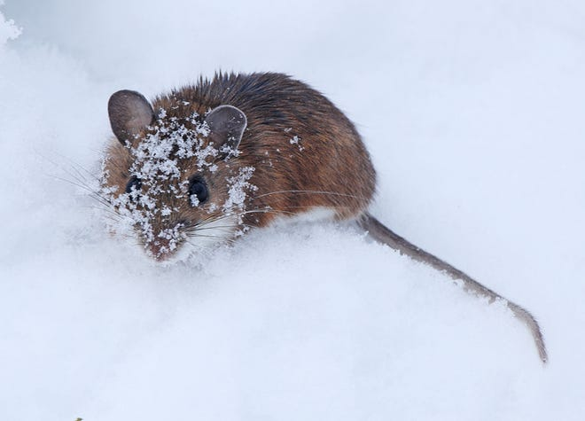 Deer mice are active throughout the winter and a common native species over much of North America. Large ears, a white tummy and big, black button eyes characterize them. In winter, they forage for food beneath the snow or dense vegetative cover. Contact Carl Kurtz at cpkurtz@netins.net.