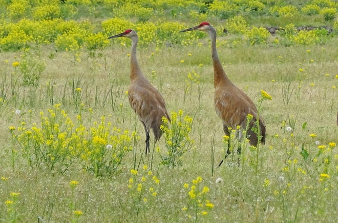 Sandhill cranes are known by their unusual call and the red spot on the top of their head. They stand 4-feet tall and have a wingspan of 6 to 7 feet.