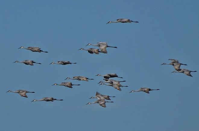 The best chance to see sandhill cranes in flight are the areas around the Killbuck Marsh.