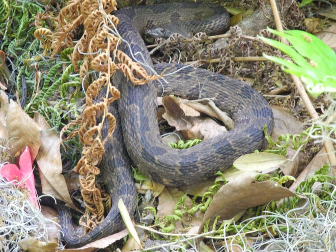 Often mistaken for a venomous snake, the brown water snake looks dangerous but is not, and its presence will often deter those snakes that are.