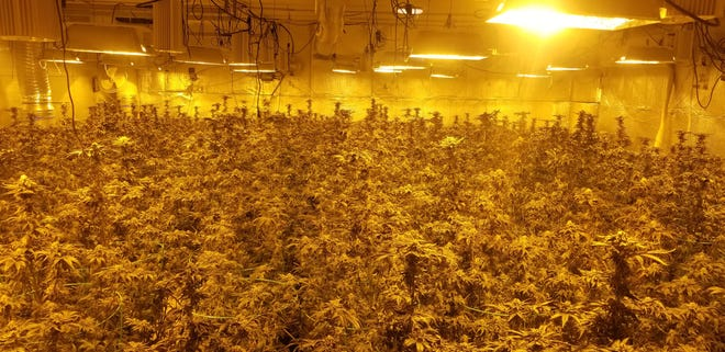 Detectives seized over 600 mature marijuana plants in Ridgecrest Tuesday. According to authorities, this photo depicts just 20% of the growth.