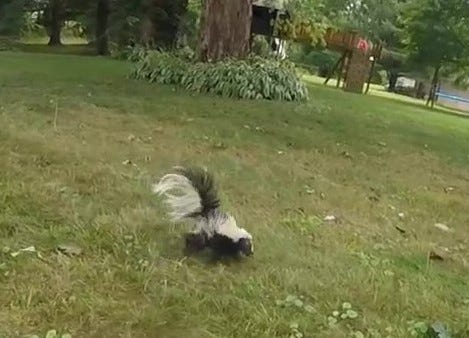 A skunk in the backyard of a south Wichita Falls home tested positive for rabies.