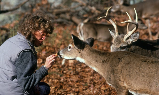 Carol Stapleton, of the Newton Parks and Recreation and Culture Dept.,  feeding deer in the Webster Conservation Land in the 1980s.