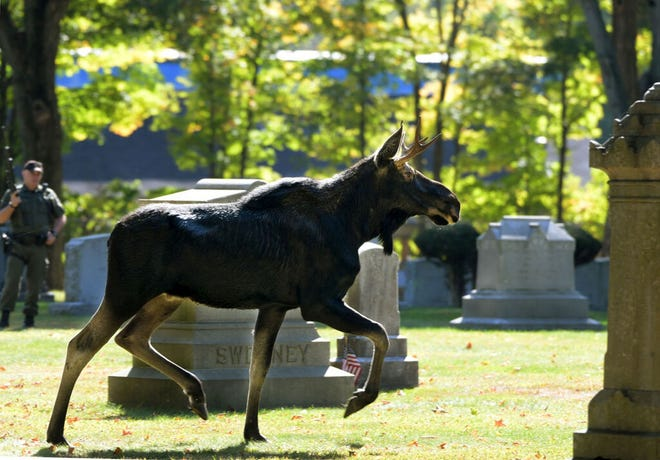 A moose is visible running among headstones in St. John's Cemetery, with an Environmental Police Officer standing by.