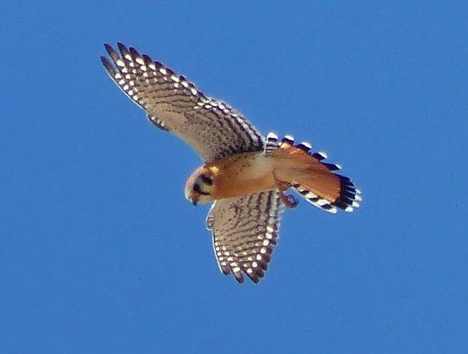 A male American kestrel fans its tail in an aerobatic maneuver.