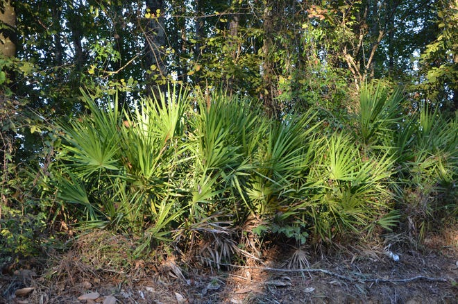 Saw palmettos are at home in the filtered light of the local pine and hardwood forest. In a few years this plant can produce a dense thicket covering the forest floor.