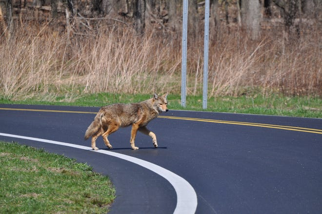 It is uncommon for coyotes to bite people.  They usually keep their distance.