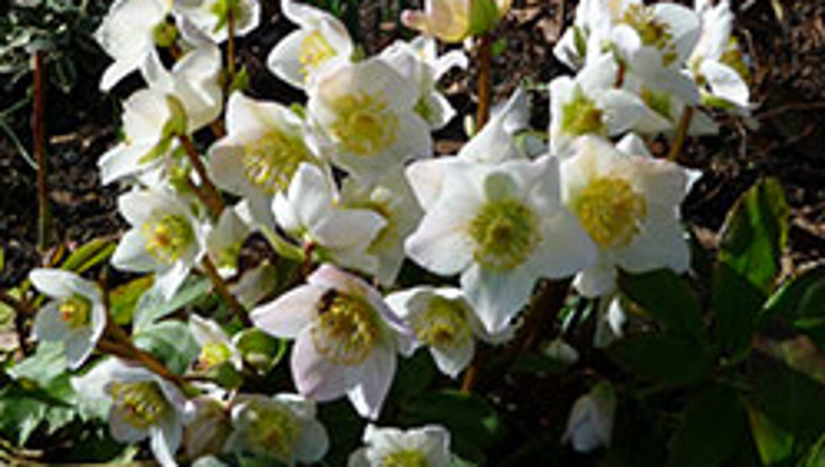 Gardening: Available in a variety of shades, hellebores offer late-winter garden color