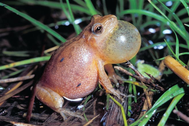A spring peeper calling.