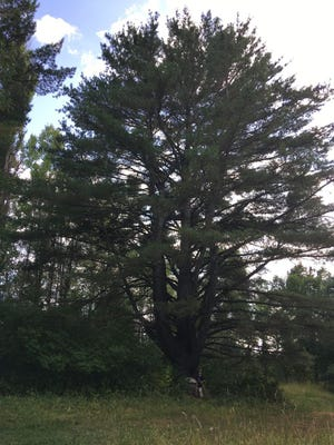 This tree was the largest white pine in Michigan when it was submitted to the Michigan Big Tree Hunt contest sponsored by ReLeaf Michigan. The next contest has begun.