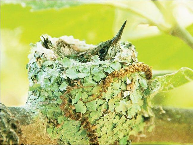 This photograph shows a hummingbird nest.