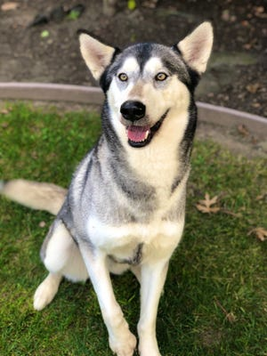 Three-year-old Husky Sansa enjoys playing with other dogs and her adoption fee covers her spay, microchip and vaccinations.